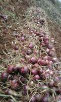 Unlimited stock of onions for sell