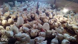 Broiler chicken weighing 1.1 and 1.2