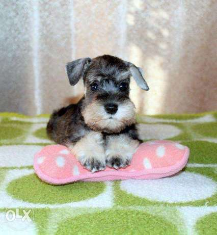 """Imported Miniature Schnauzer puppies """"Top Quality"""""""