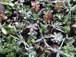 50 mixed succulents / ground covers in 2.liter bags R950