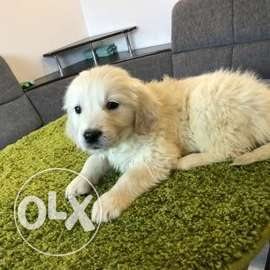 Golden Retriever puppies, from two litters