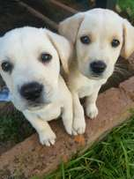 Labrador puppys 8weeks ready for good homes