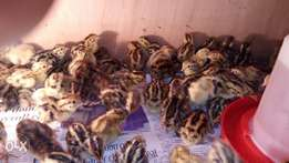 Healthy Quails 1 week old