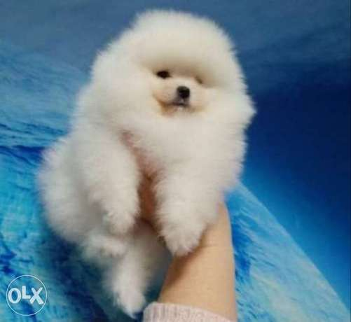 Imported teacup pomeranian with Pedigree