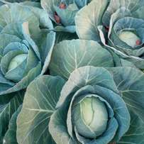 Fresh healthy cabbages