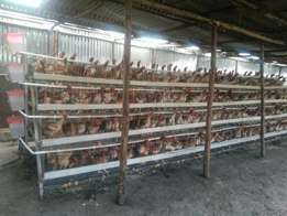 Layers' Chicken Battery Cages , 1024 birds