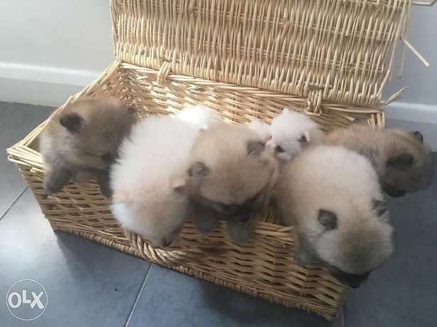 Amazing pure Poms puppy's for sale الدحيل -  6