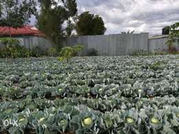 Cabbages ready for sale