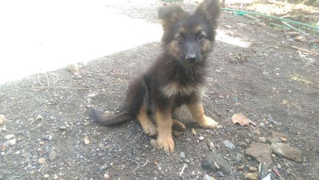 German shephard puppies for sale Roysambu - image 4