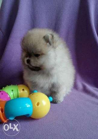 Get Your Mini pomeranian puppy From Ukraine To Egypt Within 7 Days