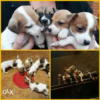 Puppy Jack russels for sale