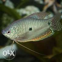 Blue and gold gourami's