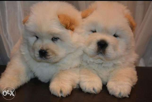 Chow chow puppies for sale imported parents جراوي شاو شاو للبيع