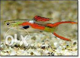 Endler-Guppy fish