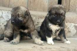 Superior Mountain Caucasian Puppy / Puppies Perfect Security Dogs