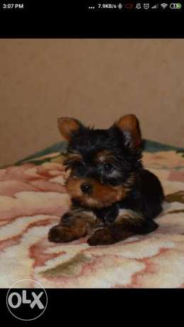 Imported Yorkshire teacup puppies terrier