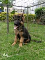 Female long coat gsd puppies for sale