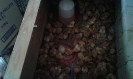 Rhode island red chicks for sale