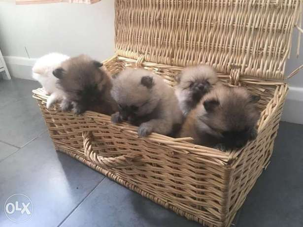 Amazing pure Poms puppy's for sale الدحيل -  4