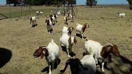Affordable price For Goats, sheep and Brahman cattle & Nguni Cattles