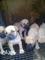 brindle and fawn boerboel pups for sell