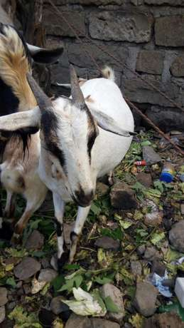 Christmas goats on offer -3 in number priced together Mwiki - image 7