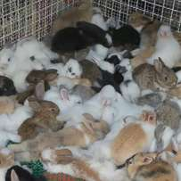 Flemish giant rabbit bunnies for sale