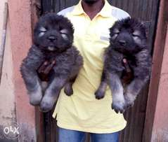 Solid Caucasian Puppies For sale