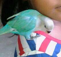 Handreared Blue Pied Lovebird