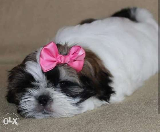Cutest imported shih tzu puppies for sale