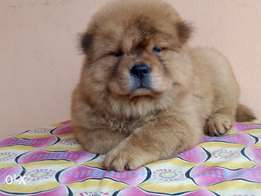 Awesome cute female chow chow available