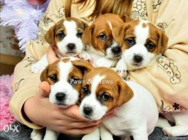 Imported jack Russell puppies with all documents, premium quality