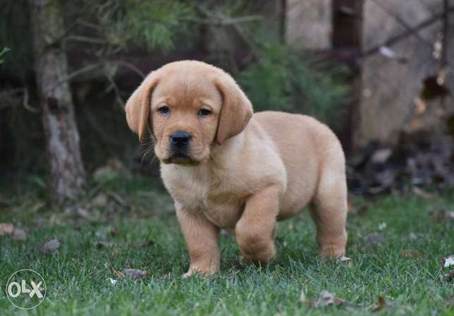 Imported Labrador puppies, premium quality with all dcs