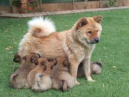 Chow Chow puppies - Adorable !!