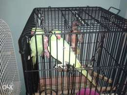 Selling 3 Ringnecks as I'm moving away urgent sale