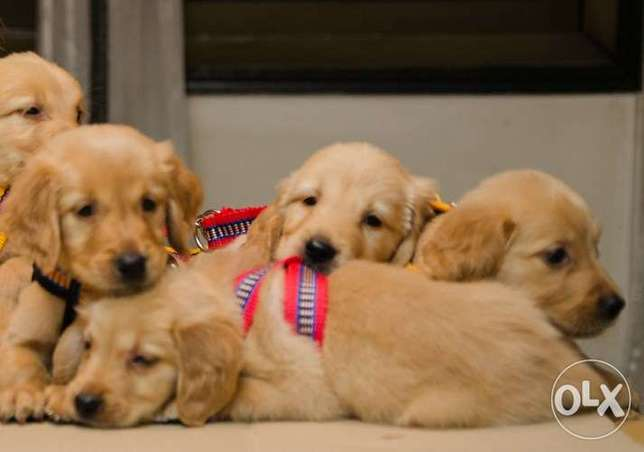 Super teddy golden retriever puppy pure long hair vaccinated 55 days