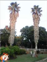 Palm trees for sale 15 year old x 2 (R1000 each)