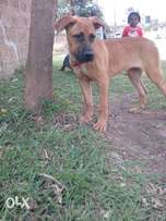 Currently 5 months old boerboel puppy