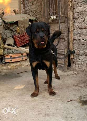 Rottweiler male for mating