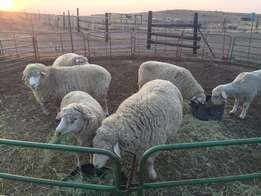 Donhne Merino Sheep Male & Female