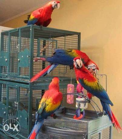 Talking and hand fed red and yellow Macaw parrots for sale
