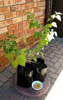 Two Gooseberry bushes for sale