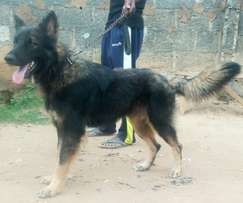 18 months old male Caucasian/GSD mix for sale