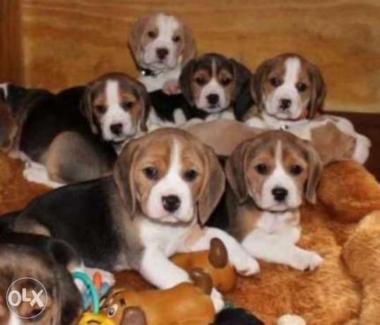 Reserve ur imported beagle puppy from Ukraine with Pedigree