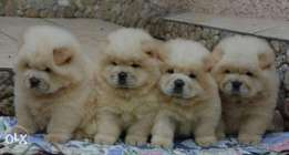 Imported chowchow puppies with Pedigree and microchip, all colors