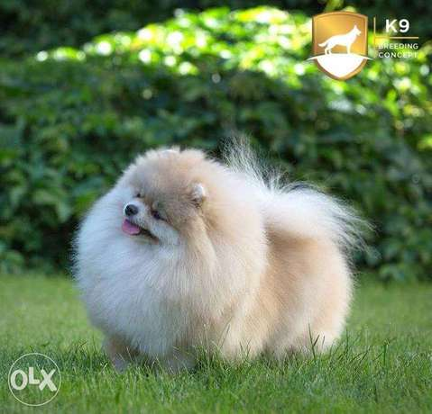 Imported real Pomeranian teacup