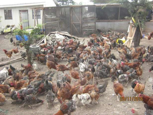 Chickens For Sale Ongata Rongai - image 4