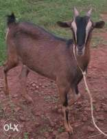 Pregnant Dairy goat for sale
