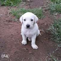 Stunning purebred pedigree golden Labrador puppies