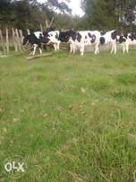 5 Incalf fresian heifers on sale